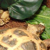 Lark_Tortoise