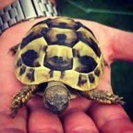 tortoisekev