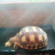 Pure Tortoise Power