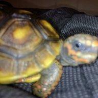 Wayne Redfoot Tortoise