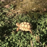 Jeff_the_Sulcata