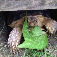 russian/sulcata/tortoise