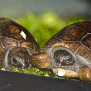 ONE DAY OLD ALDABRA HATCHLINGS