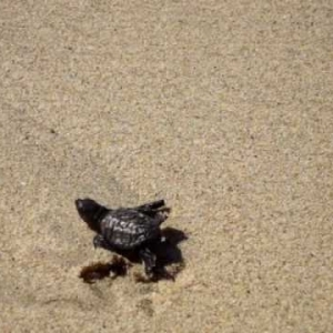 sea turtle going to ocean - YouTube