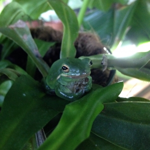 Tree frog in the greenhouse on pitcher plant