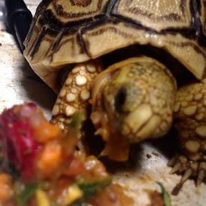 My hangry tortoise