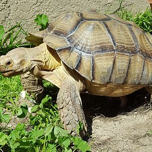 Bigfoot the Sulcata