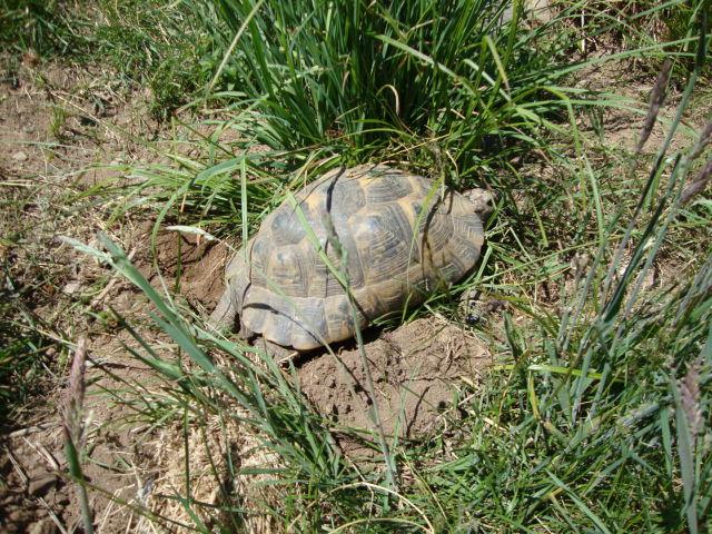 ibera greek tortoise - photo #26