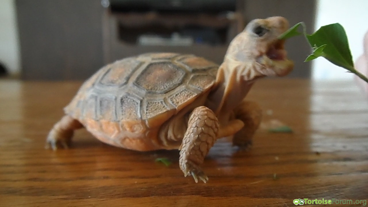 Tortoise tongue :P
